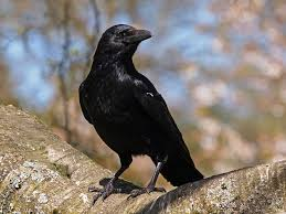 Crow Some Wild Animals and their Names in Twi